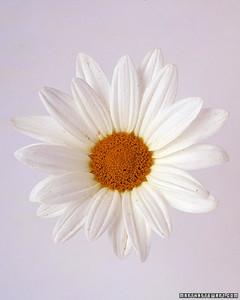 wa98432_sp03_daisy.jpg