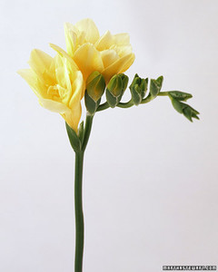 wa98432_sp03_freesia.jpg