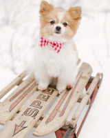 dog with bow tie on sled