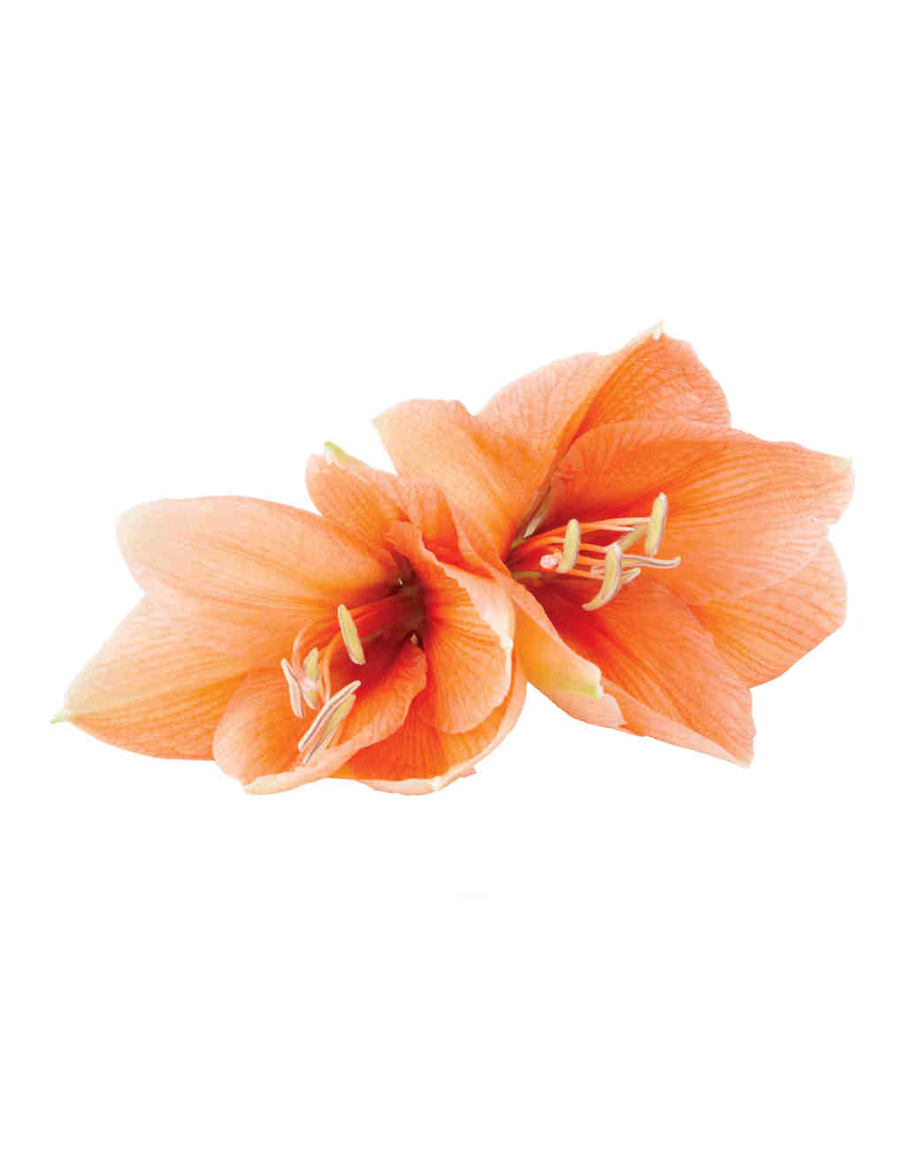 amaryllis-mwd107931.jpg