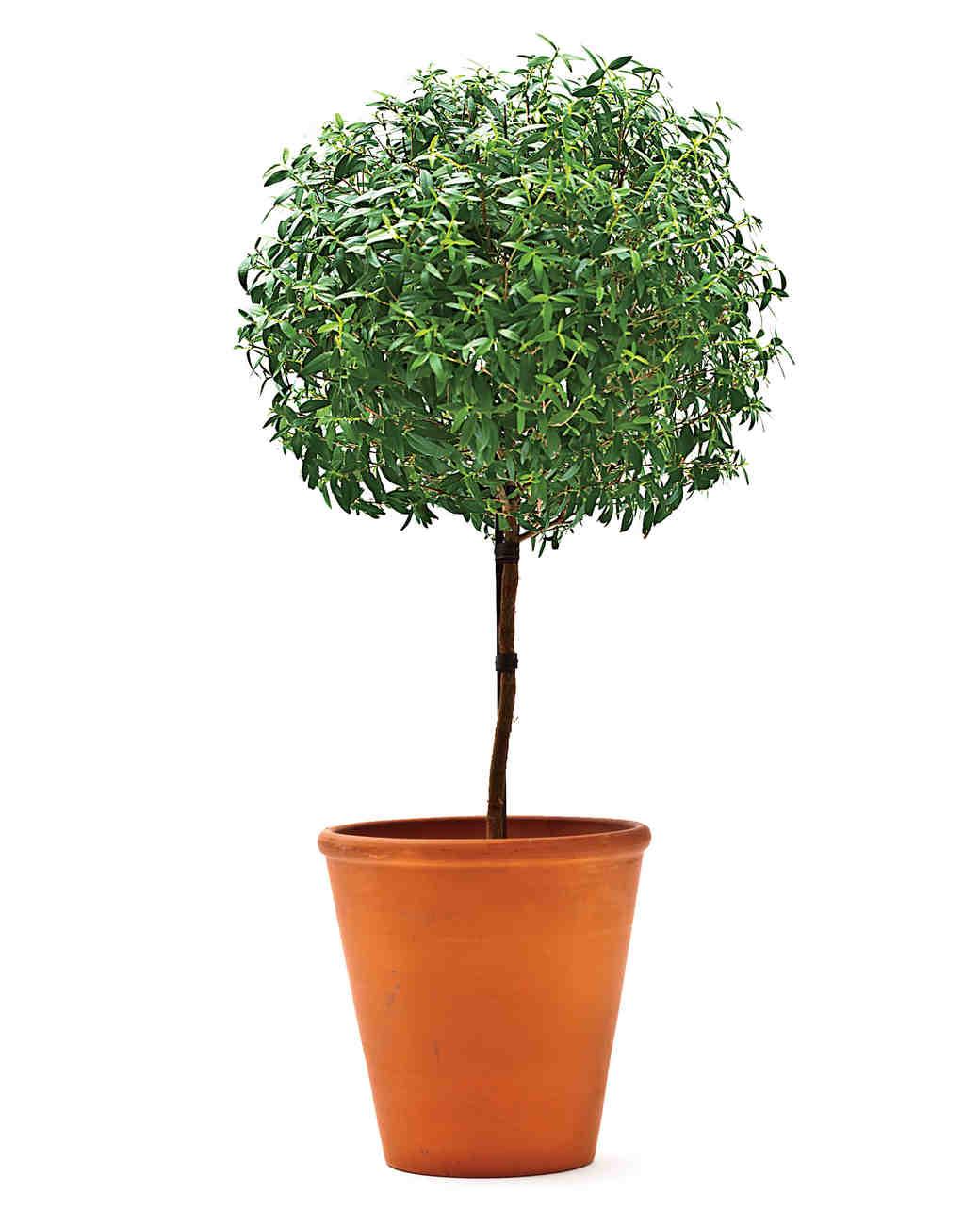 myrtle-topiary-ms108035.jpg