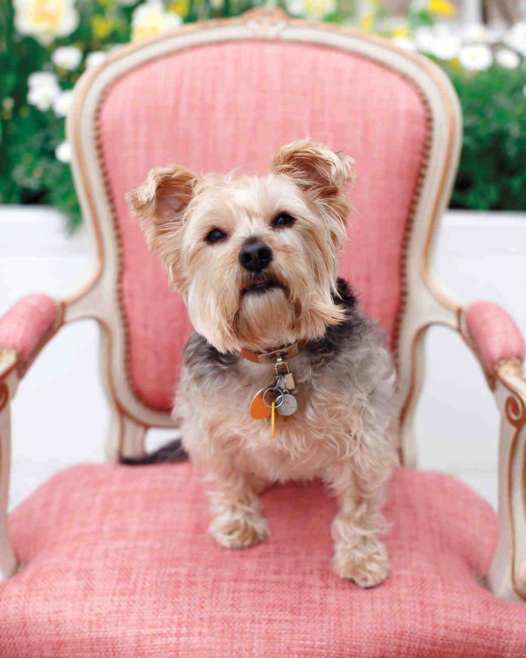 Dog on Pink Wedding Chair