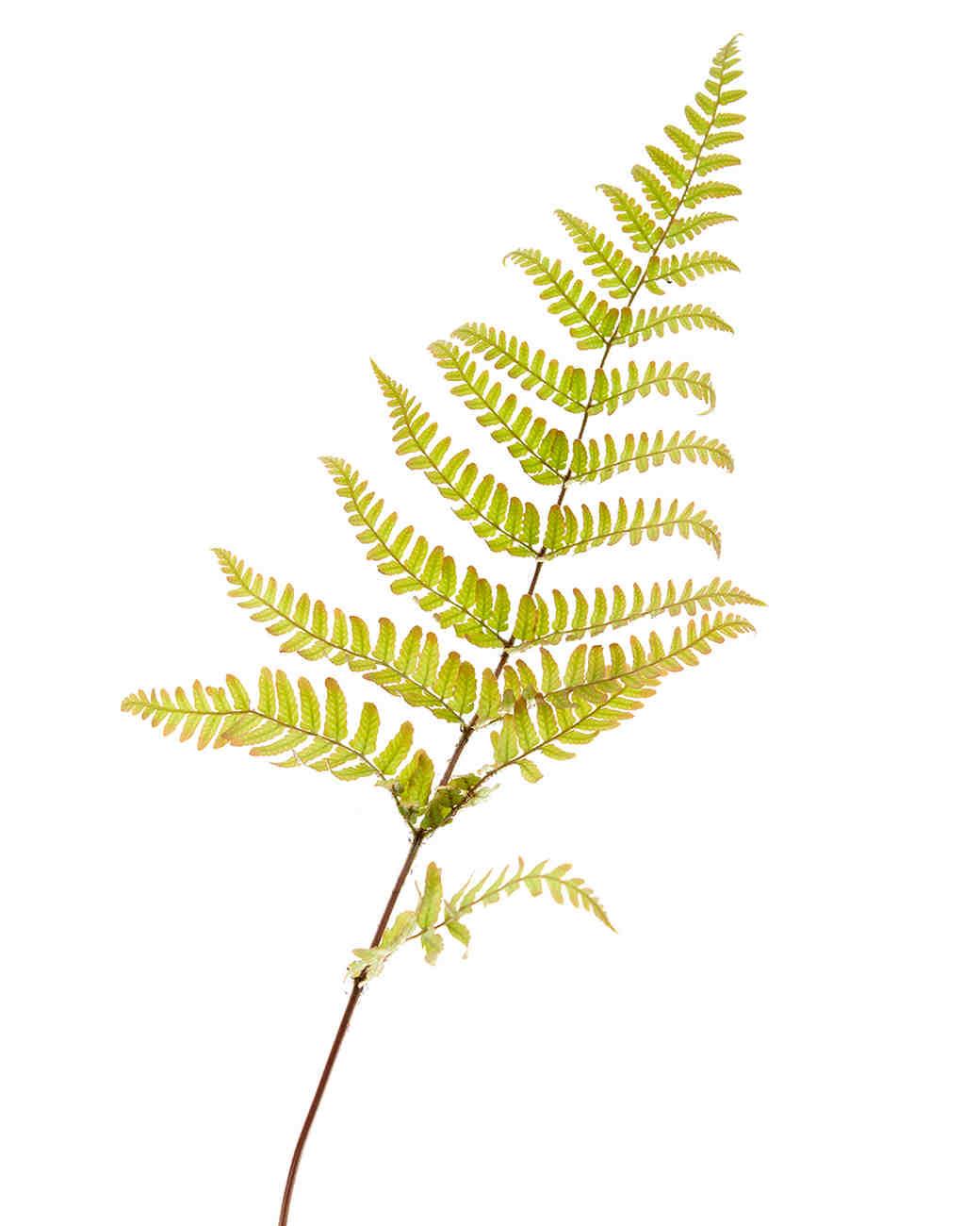 flower-glossary-fern-frillance-aut-0415.jpg