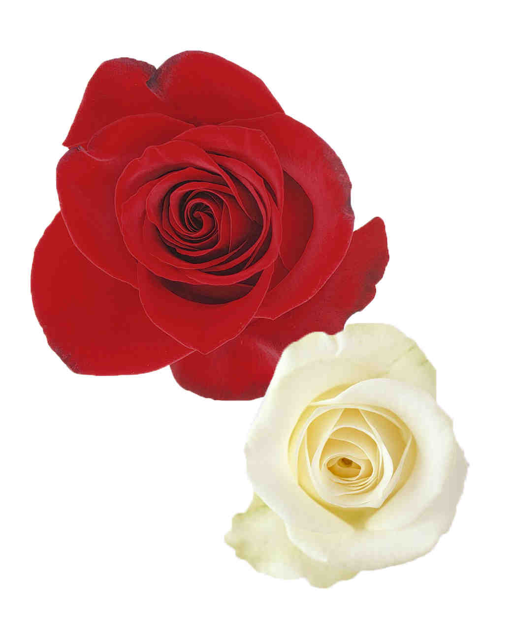 rose-color-meanings-red-white-a98432-0715.jpg