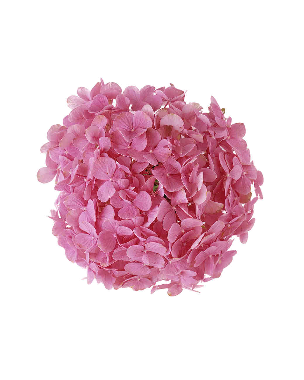 flower-glossary-hydrangea-pink-a98432-0415.jpg