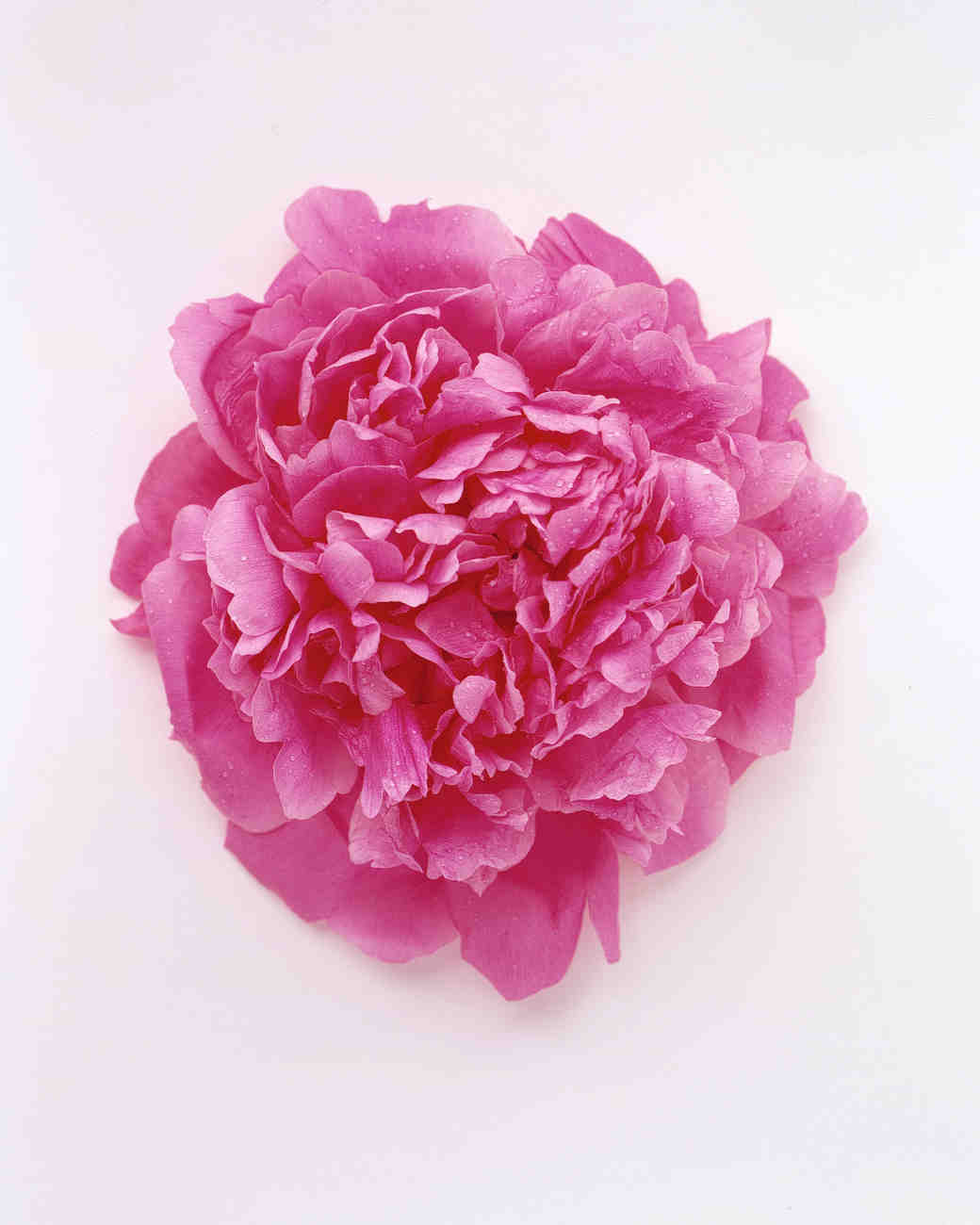 flower-glossary-peony-pink-hot-a98432-0415.jpg