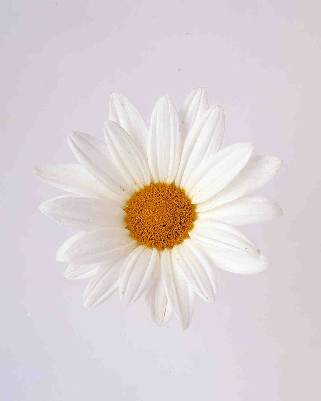 Marguerite flower meaning daisy meaning share your feelings best marguerite flower meaning izmirmasajfo Image collections