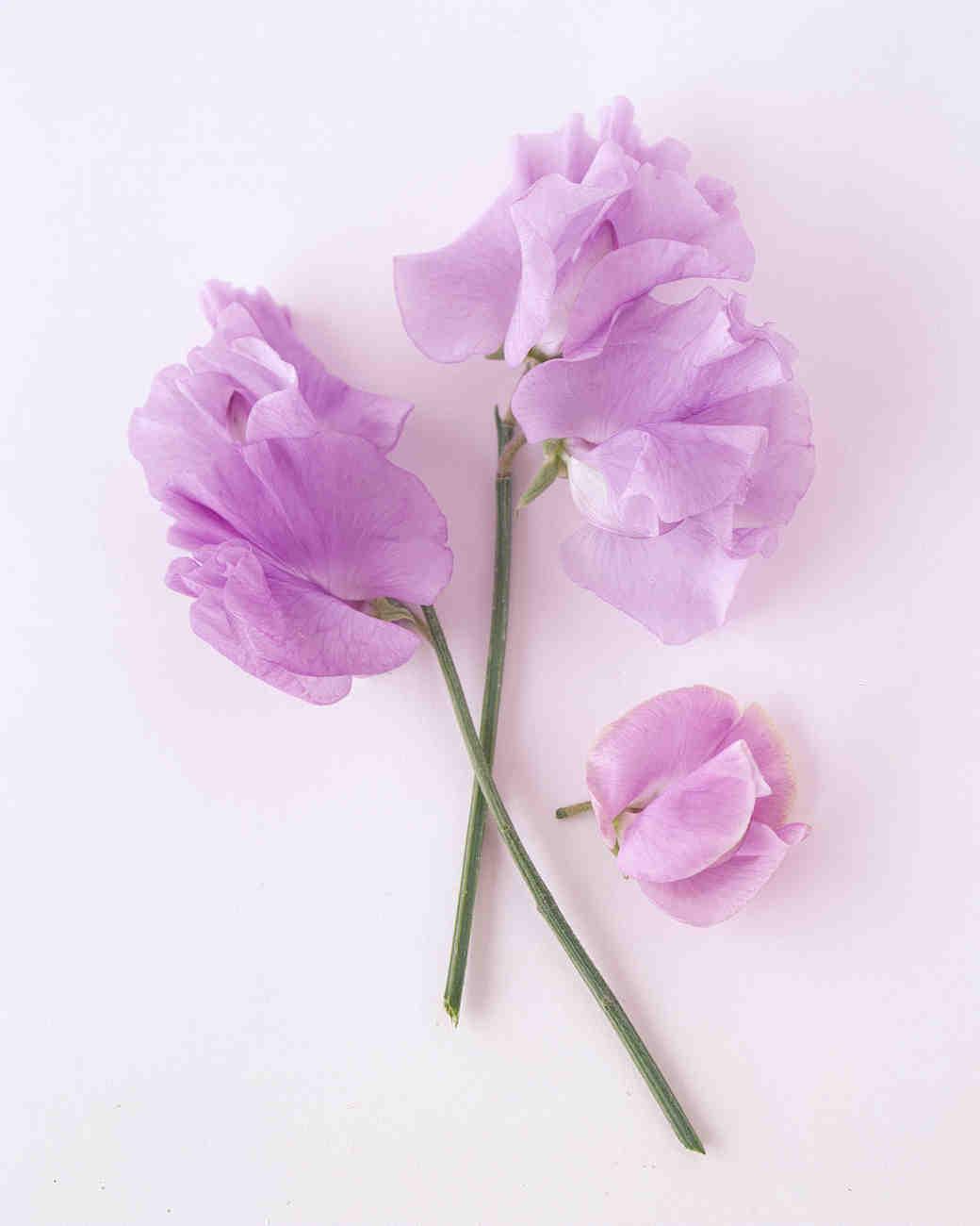flower-glossary-sweet-pea-purple-a98432-0415.jpg