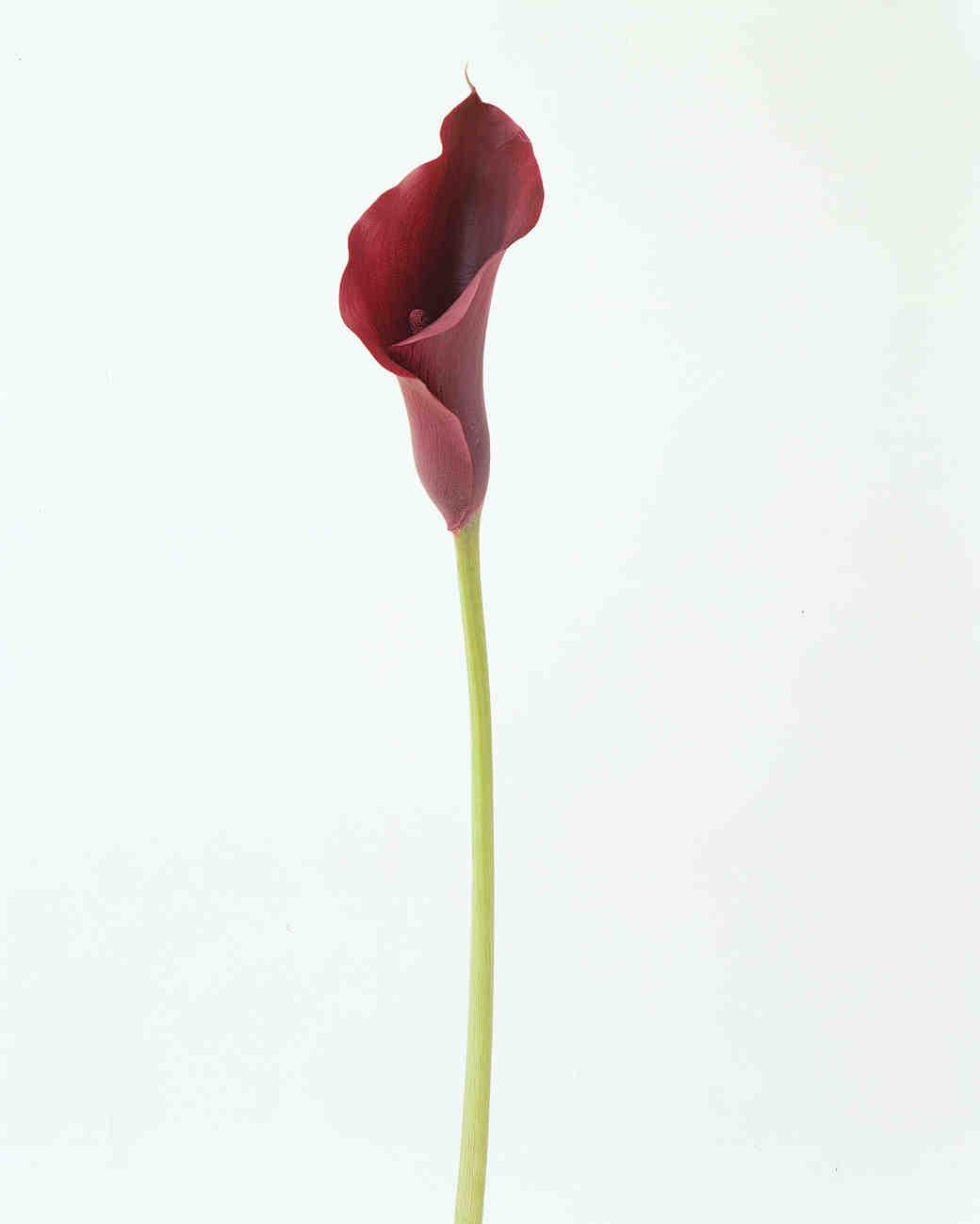 flower-glossary-calla-lily-mini-black-a98432-0415.jpg