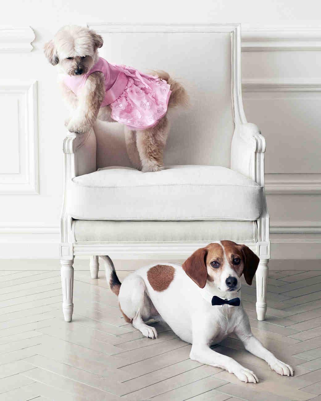 wedding-pet-clothes-dog-on-chair-082-d111997-0515.jpg