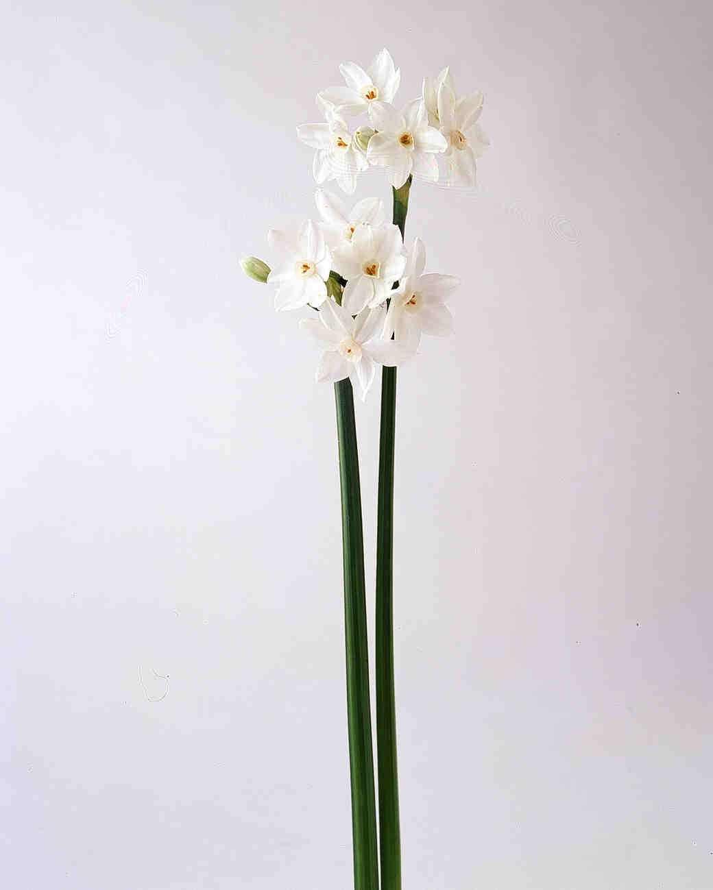 flower-glossary-narcissus-paper-whites-a98432-0415.jpg