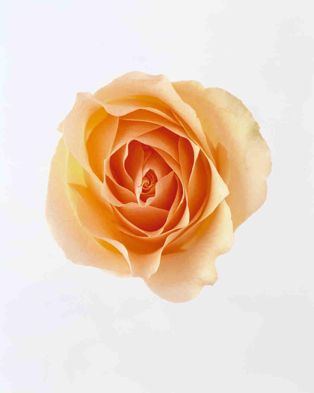 flower-glossary-rose-vers-equador-peach-a98432-0415.jpg