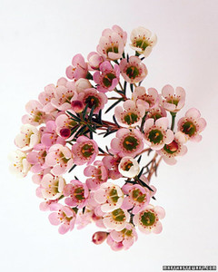 wa98432_sp03_waxflower.jpg