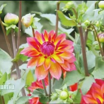 Connell's Dahlias in Tacoma