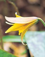 trout-lily-mla102338a1.jpg