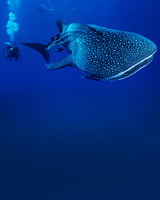 istock_12357641_whale_shark.jpg