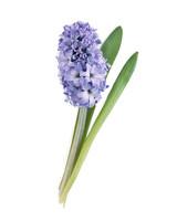 flower-glossary-hyacinth-a98342-0415.jpg