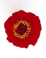 flower-glossary-zinnia-red-a98432-0415.jpg