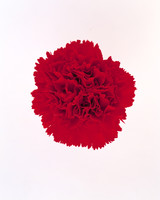 flower-glossary-carnation-red-a98432-0415.jpg