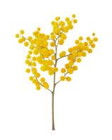 flower-glossary-mimosa-france-a98432-0415.jpg