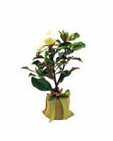 mother-bride-groom-gift-magolia-tree-0415.jpg