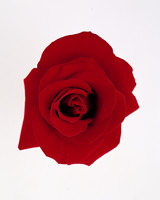 flower-glossary-rose-grand-prix-a98432-0415.jpg
