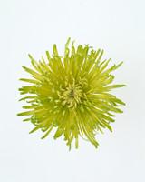 flower-glossary-chrysanthemum-deco-a98432-0415.jpg