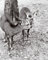 addie richard wedding japan deer in park