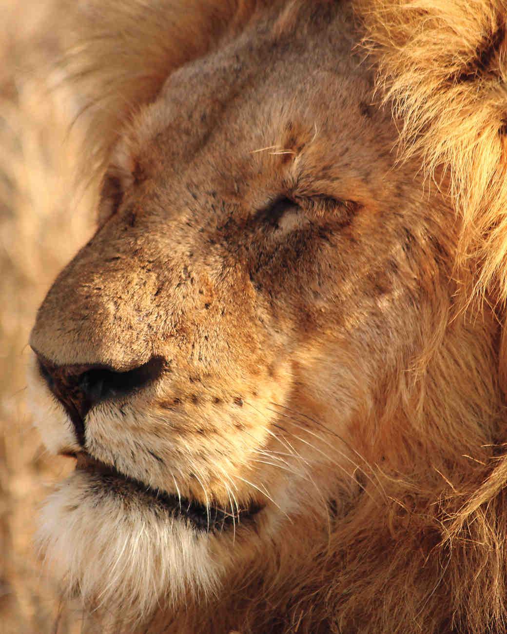 lion-mws109850.jpg