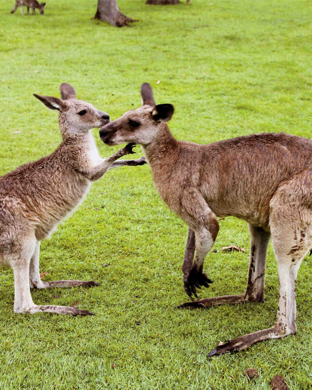 kangaroos-0811ms107520.jpg