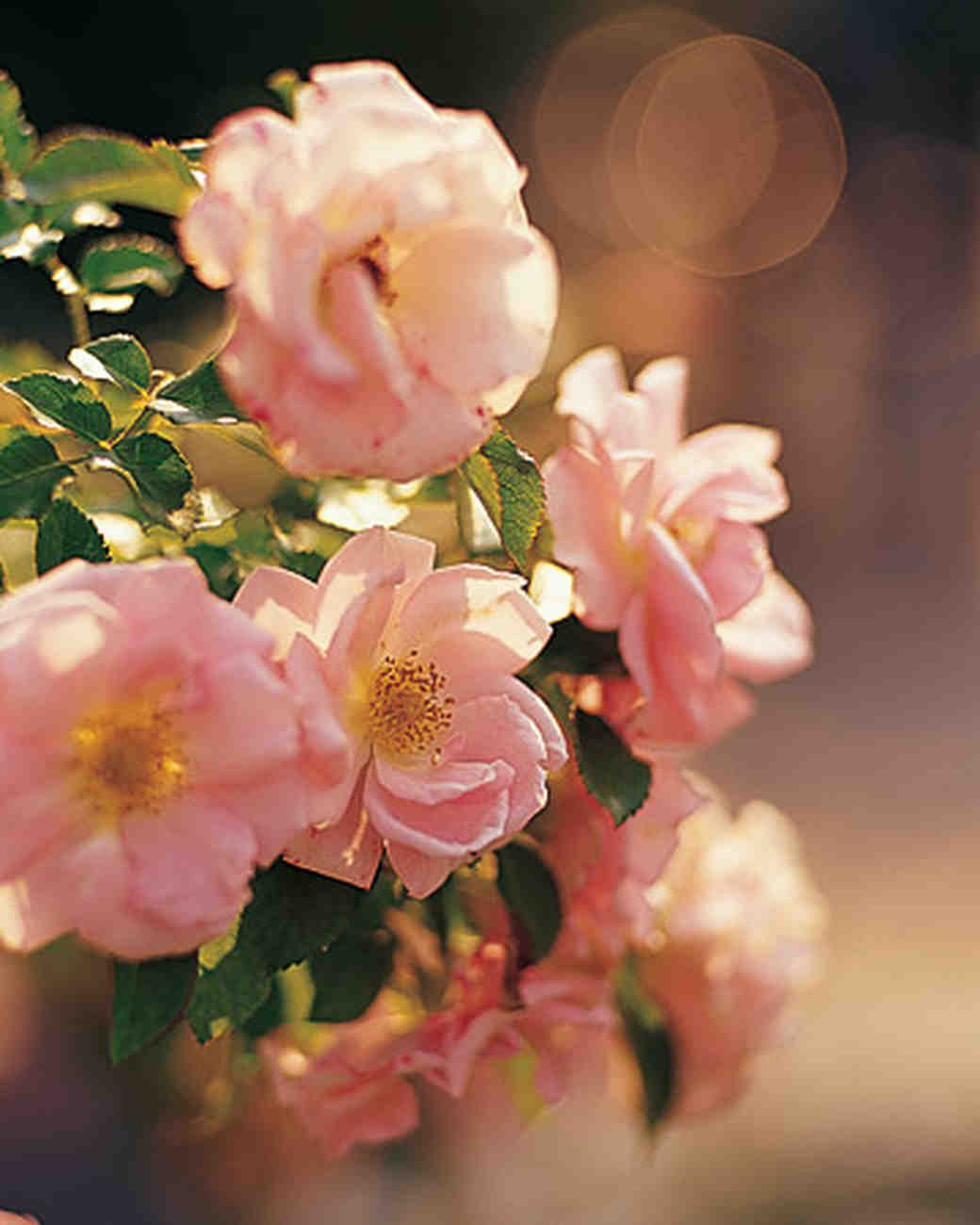 mw0404_spr04_garden_rose.jpg