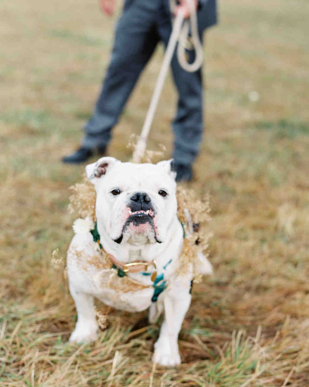english bulldog wearing floral wreath