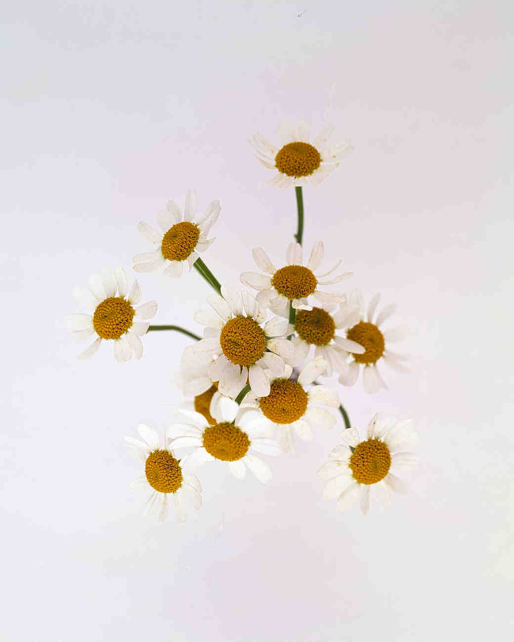 flower-glossary-chamomile-a98432-0415.jpg
