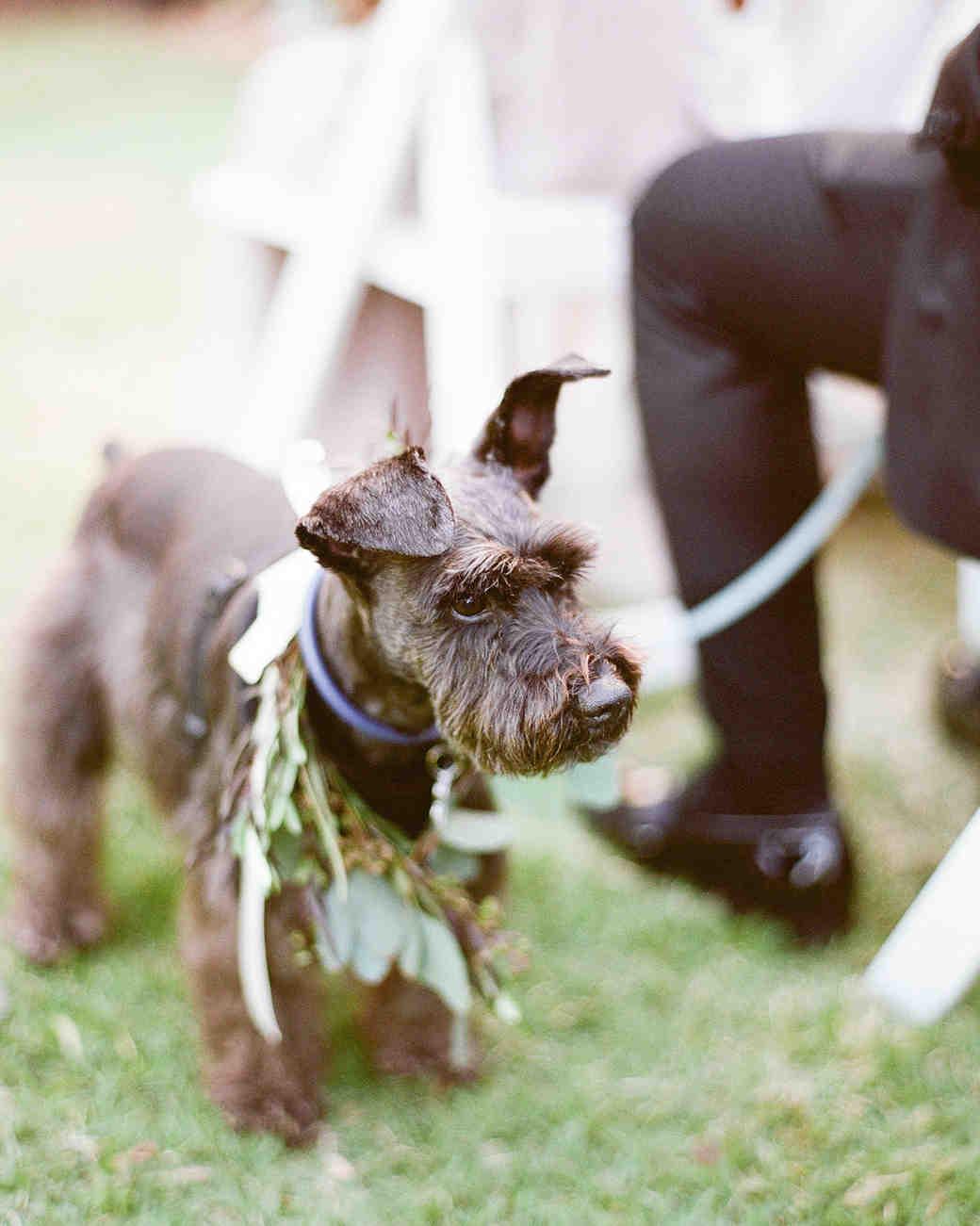miniature schnauzer Didi the dog ring bearer