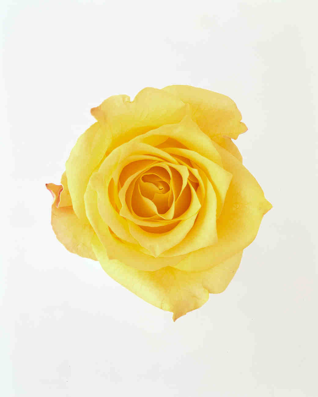 rose-color-meanings-yellow-a98432-0715.jpg