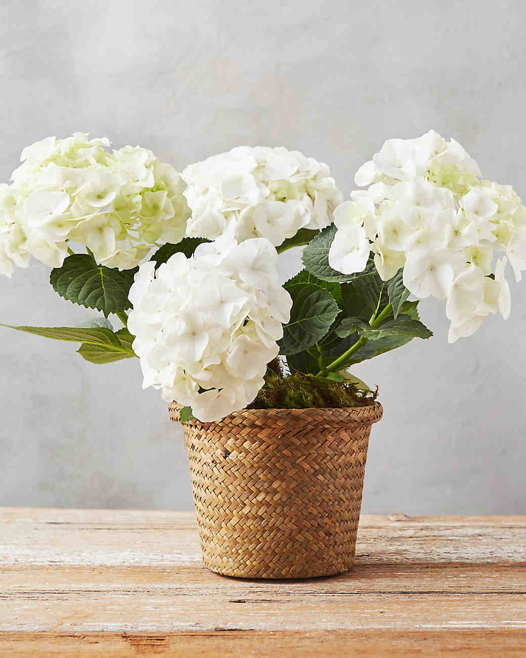 Potted Hydrangea, Mother of the Bride Gift