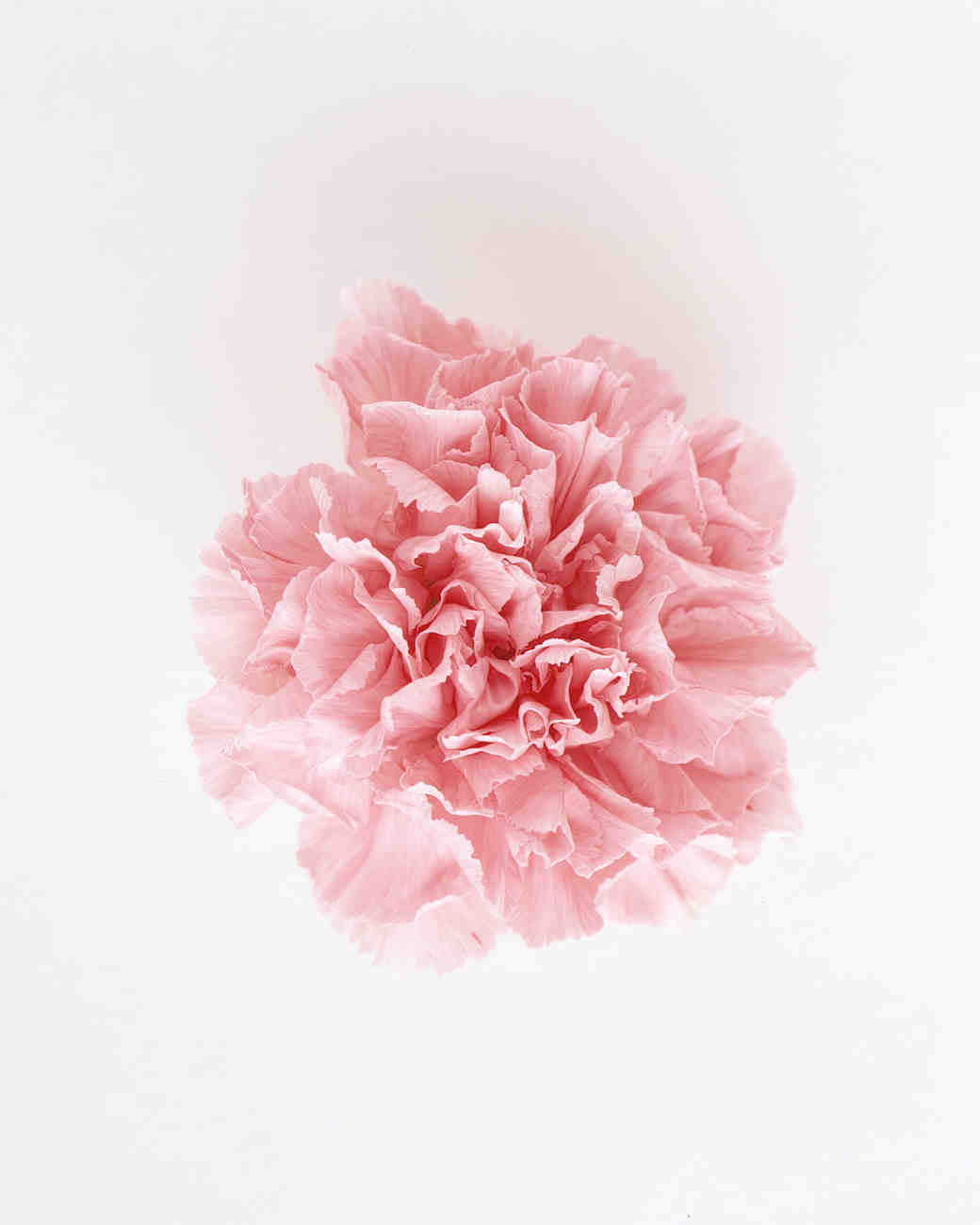 flower-glossary-carnation-pink-a98432-0415.jpg