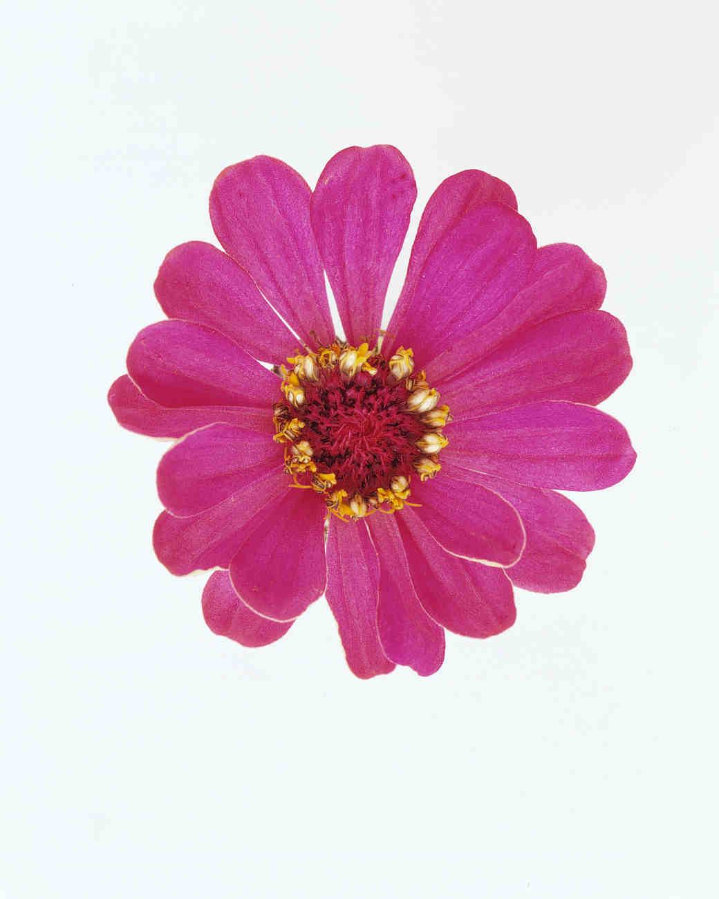 flower-glossary-zinnia-magenta-a98432-0415.jpg