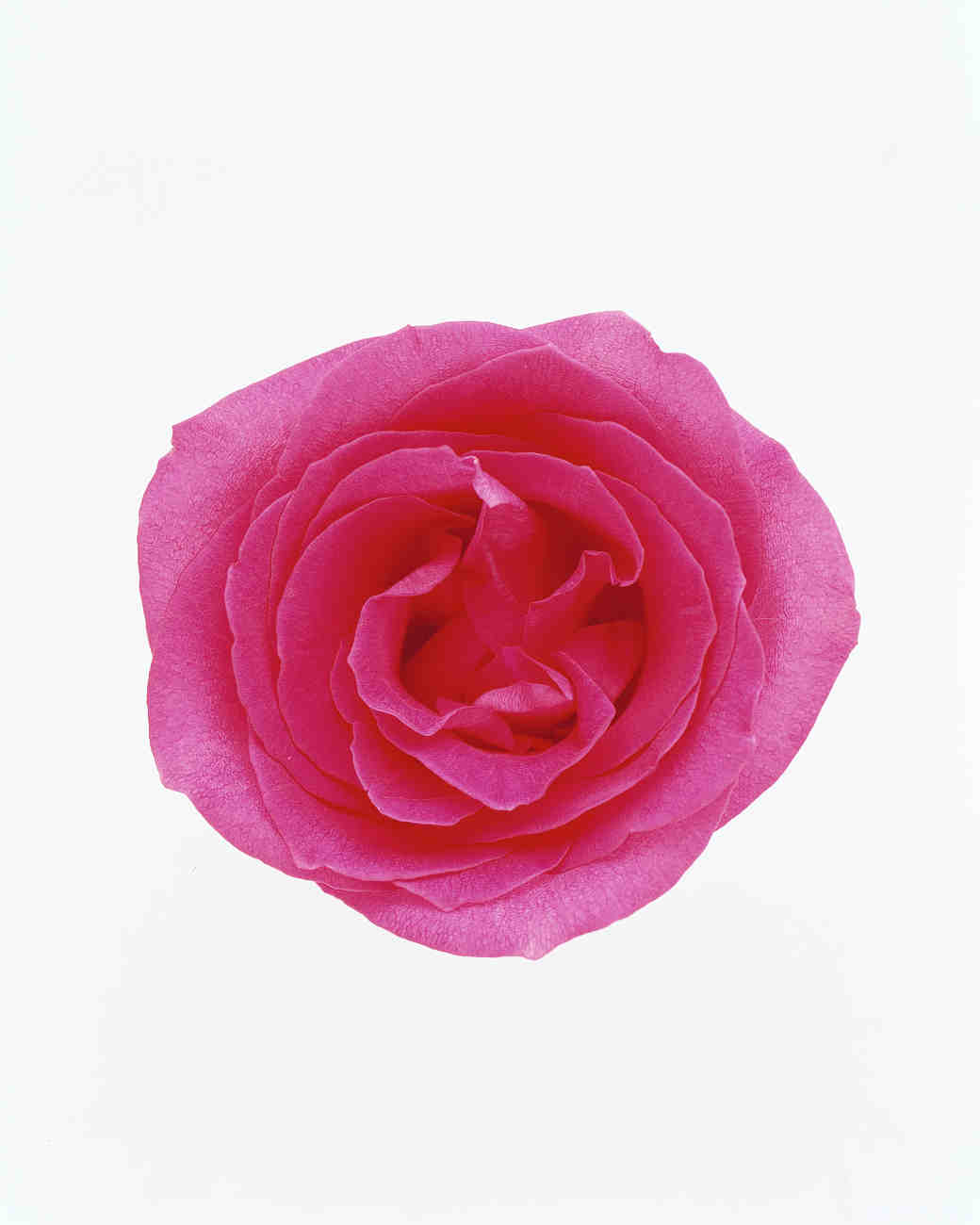 flower-glossary-rose-ravel-pink-a98432-0415.jpg
