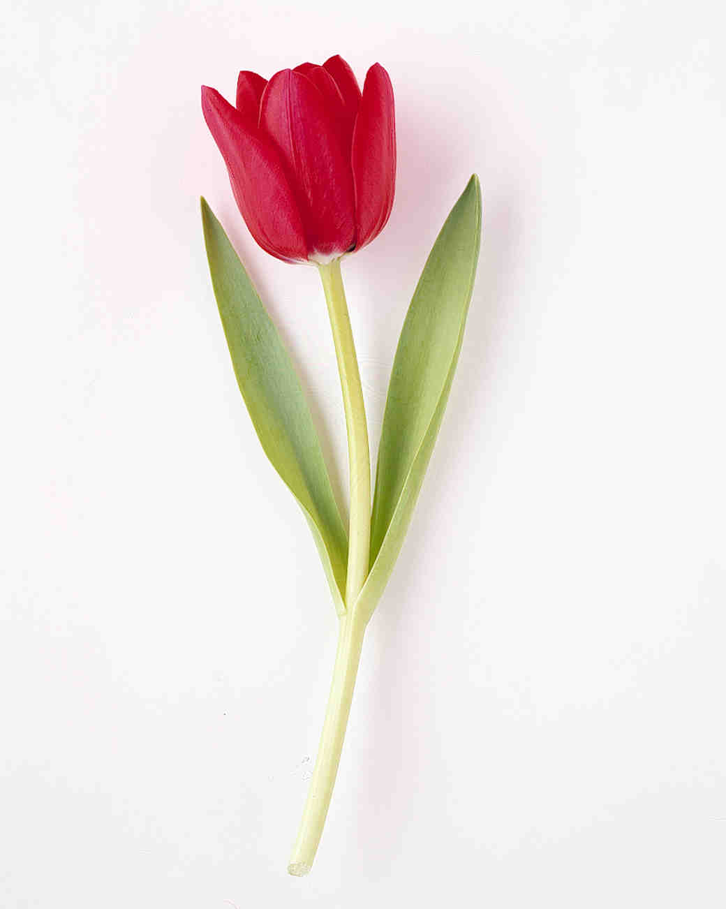 flower-glossary-tulip-ilde-france-red-a98432-0415.jpg