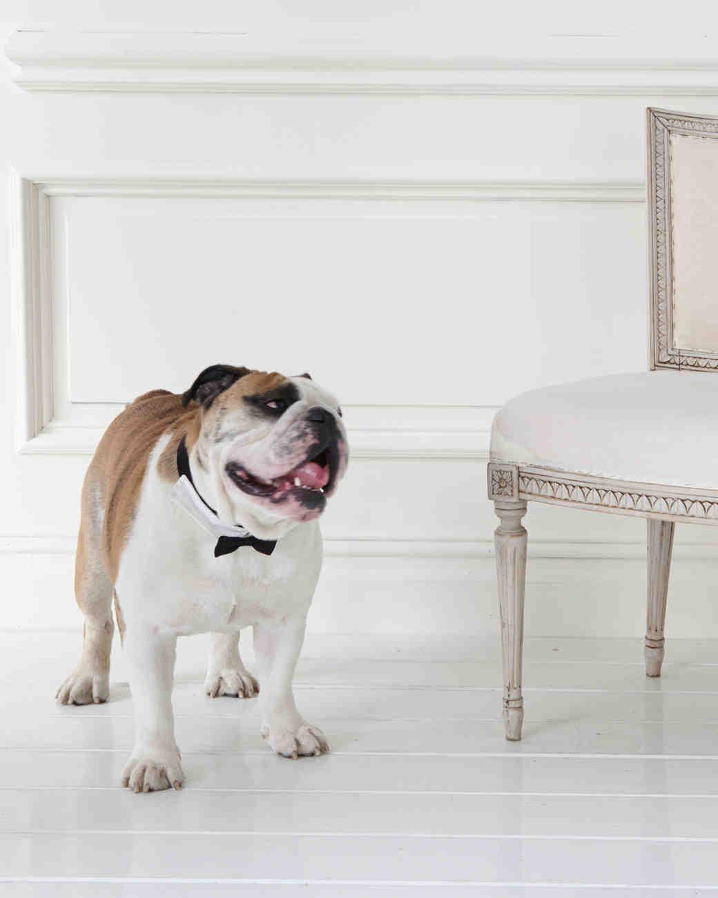 wedding-pet-clothes-mspets-wedding-bowtie-collar-bulldog-0515.jpg