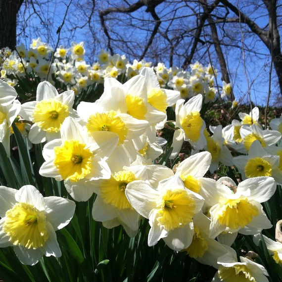 Daffodils blooming at the Brooklyn Botanic Garden