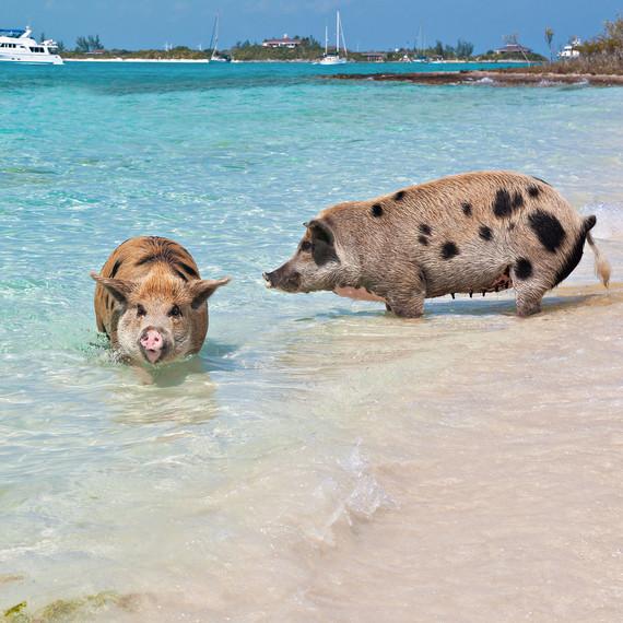 bahama pig island swimming with animals honeymoon